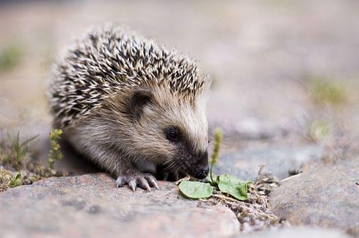512px-Keqs_young_european_hedgehog1
