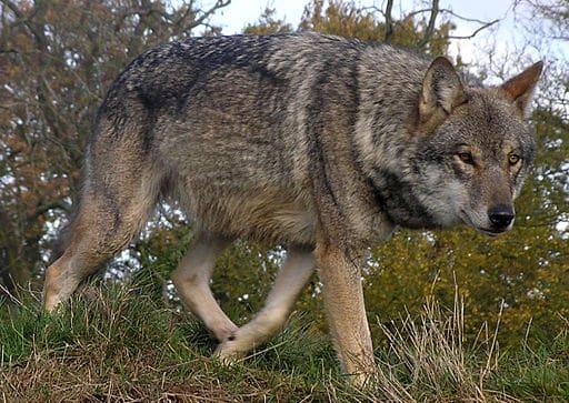 512px-Lunca-European-Wolf