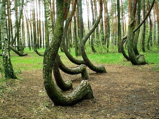 Crooked Forest Poland 2